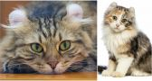 Meet the American Curl, the Cat With Remarkably Curly Ears