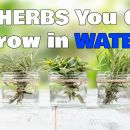 10 Herbs You Can Grow in Water
