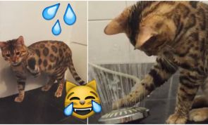 This Bengal Cat Loves Water... Watch How He Reacts To The Shower!