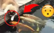 Watch How This Cat Reacts to Koi Fish... Adorable!