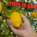 You Can Grow Lemons On Your Balcony... Easy!