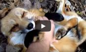 Feeling down? Watch this video of a sweet, FLUFFY fox being cuddled