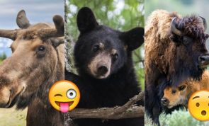 You're Definitely AMERICAN If You Know The Official Mammals Of These 12 U.S. States