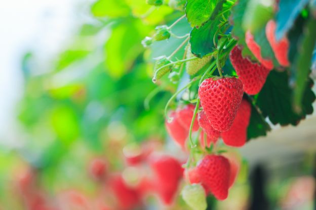 The Future of Strawberry Picking