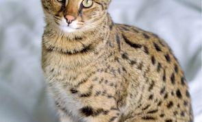 Savannah Cats: The Wildest of All Domestic Breeds?